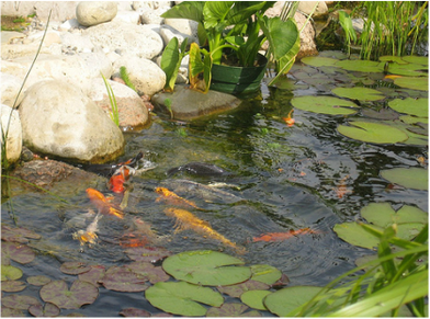 Fishery Studies Stocking Koi Ponds Aqua Plant Control